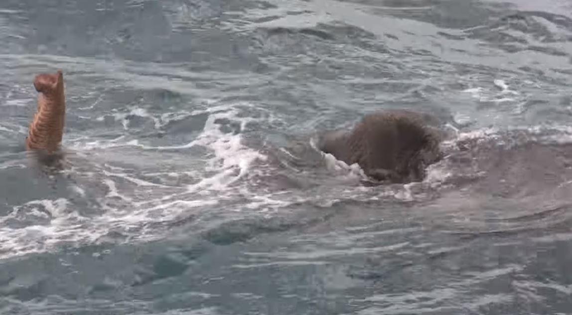 Rescatan a elefante en el mar