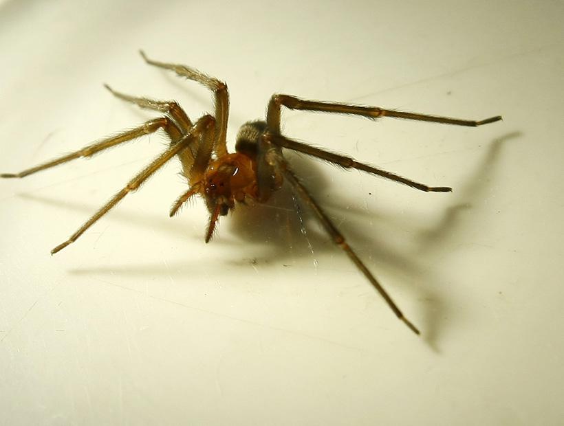 Científicos descubren tres nuevas arañas venenosas chilenas