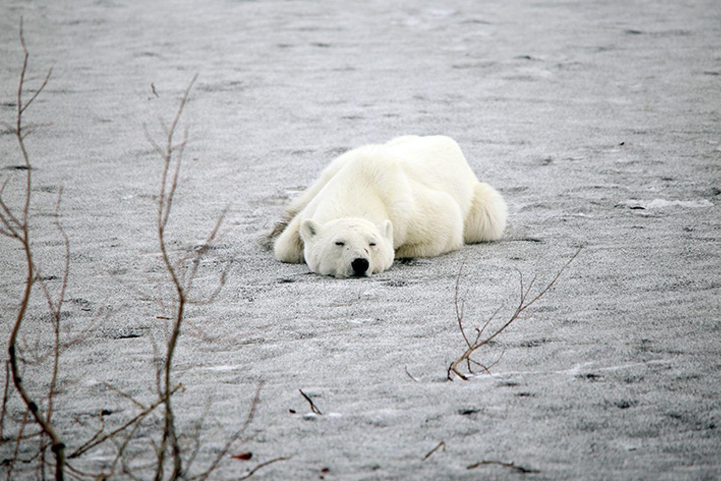Oso polar es hallado en una ciudad y enciende alertas ambientales