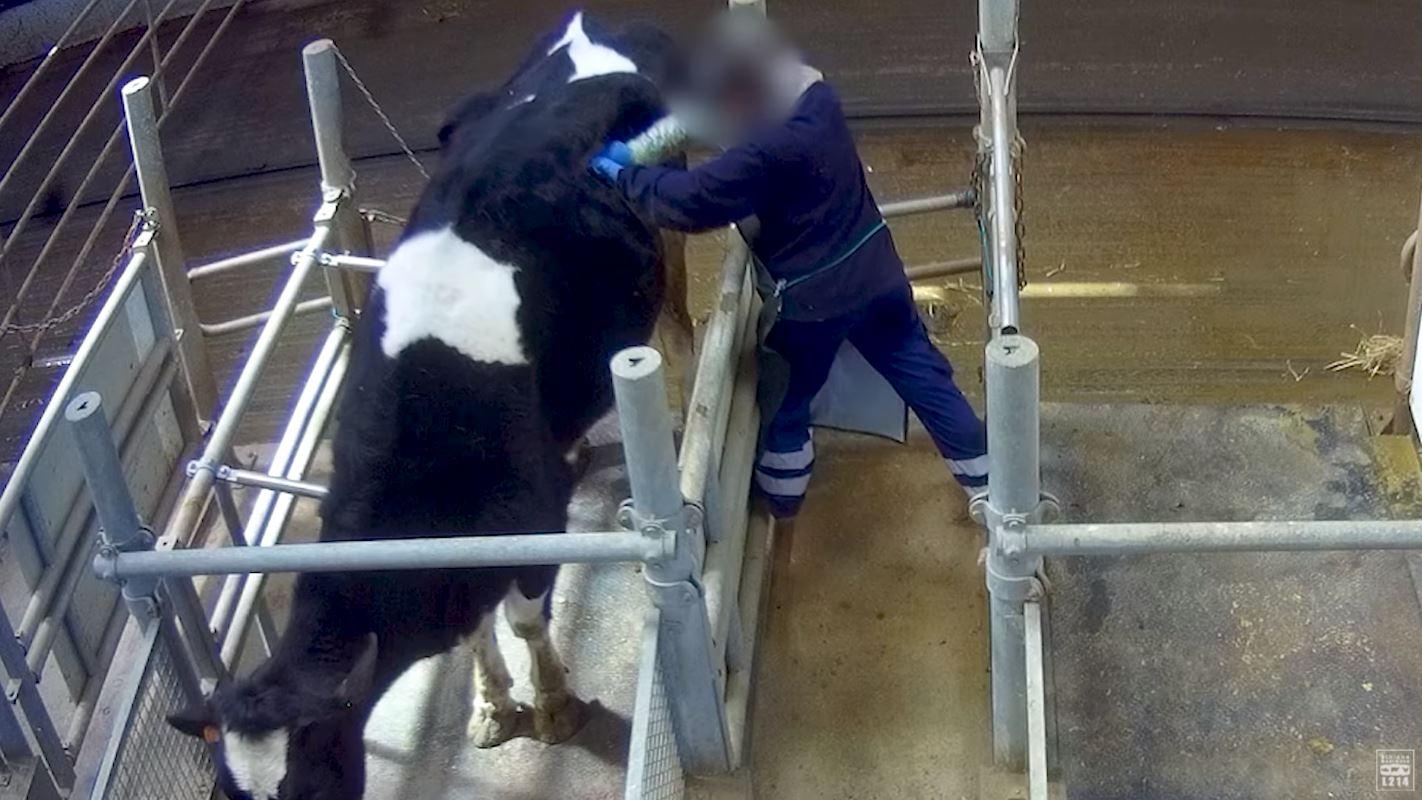 Polémica en Francia por vacas perforadas para optimizar alimentación